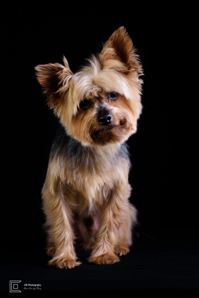 Pet Portrait of a Yorkshire Terrier by Cristian Bucur Photographer in Tokyo Metropolitan Area