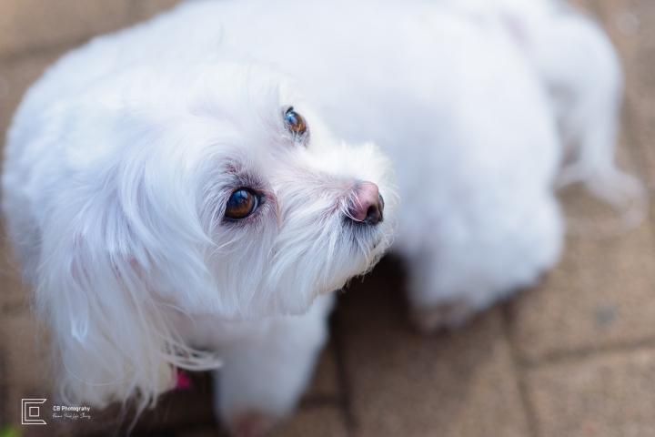 Maltese dog portrait taken at Yoyogi Park by the pet photographer Cristian Bucur in Tokyo.