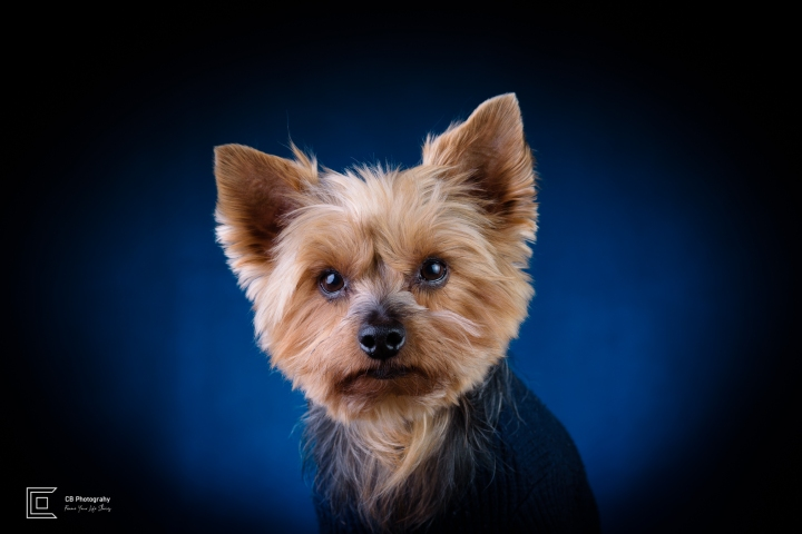 Yorkshire Terrier during a studio photosession in Tatami Studio