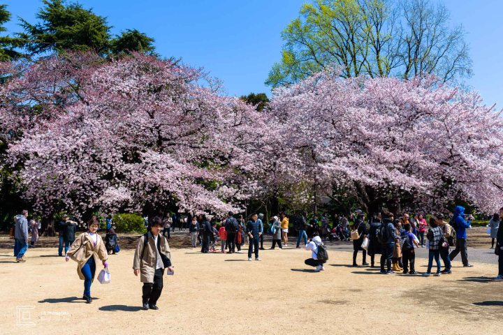 Cherry Trees in full blossom in Shinjuku Gyoen National Park