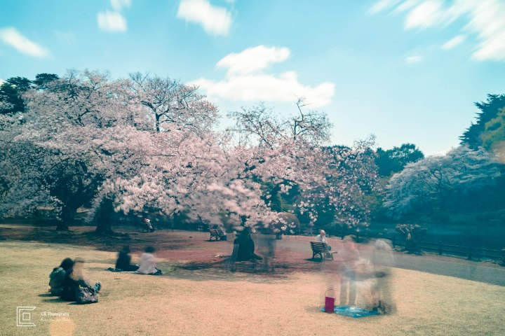 People having picnic under Sakura Trees; long exposure photograph