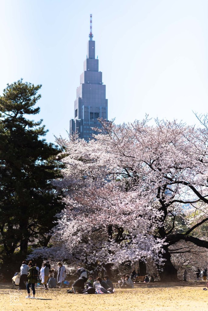 Scene from Shinjuku Gyoen National Park During Sakura Season