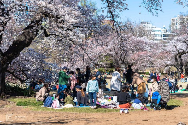 People having picnic under Sakura Trees