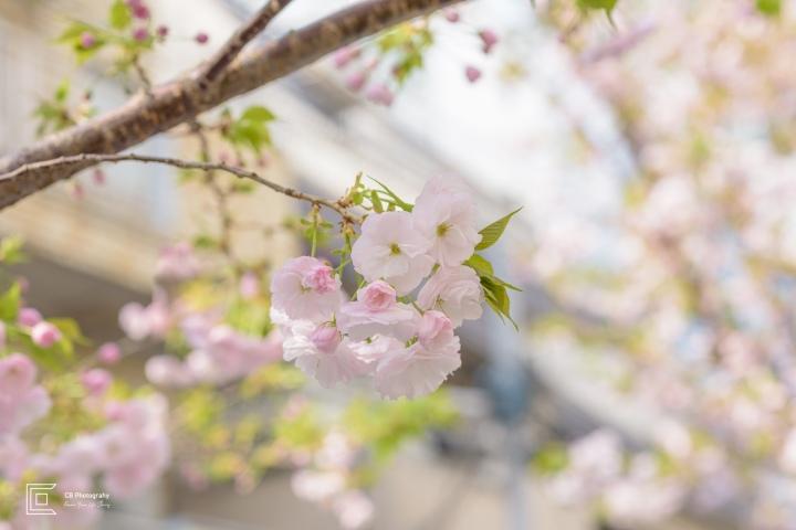 Sakura Flowers/Cherry Blossom