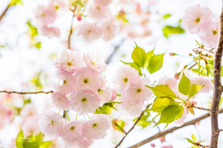 Sakura Flower/Cherry Blossom, Tokyo, Nakameguro, Japan