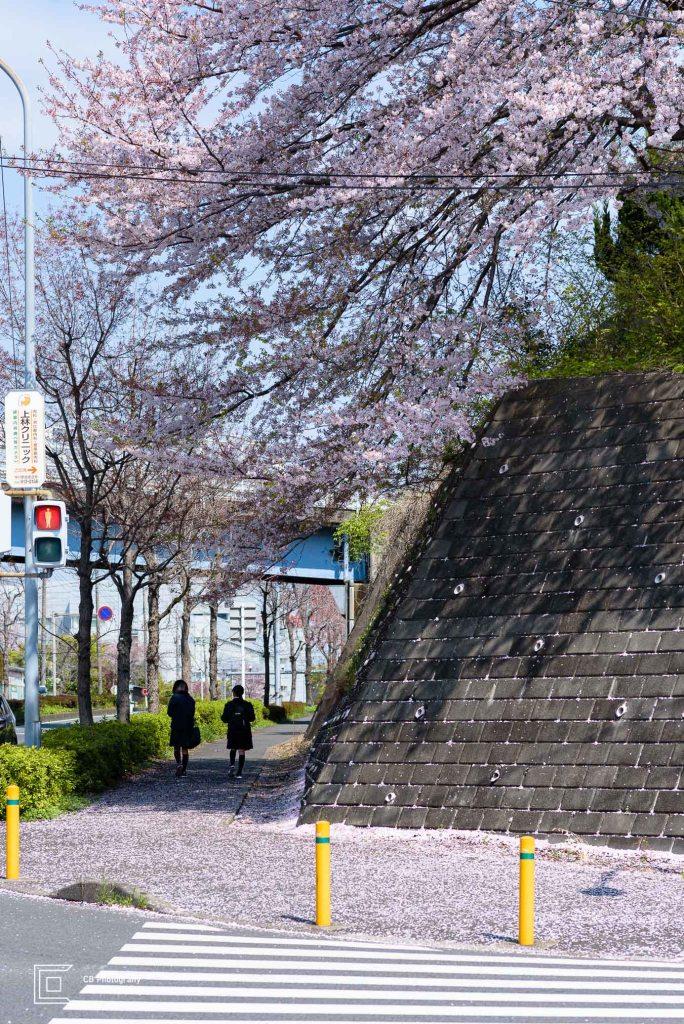 Pupils walking on a sidewalk under a big Cherry Tree in Full Blossom