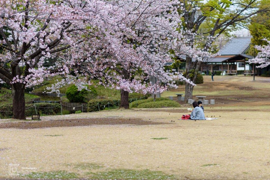 Park Picnic in Tokyo during Sakura Season