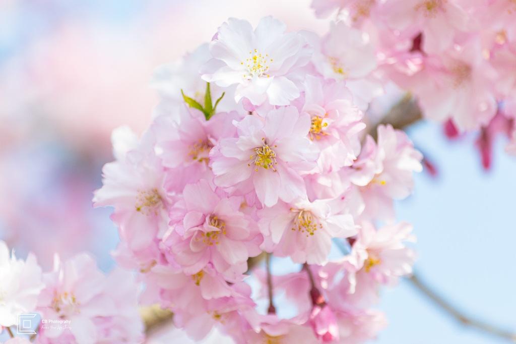 Sakura/Cherry Flowers in Tachikawa, 2014th, Tokyo