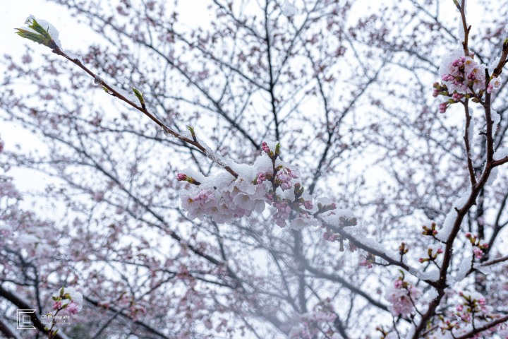 Does it snow in Yokohama while Cherry Flowers are in full bloom?